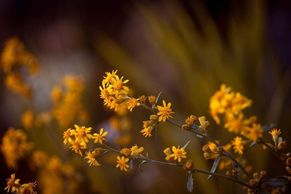 Arnika Blüte ist gelb und wird oft als Hausmittel verwendet.