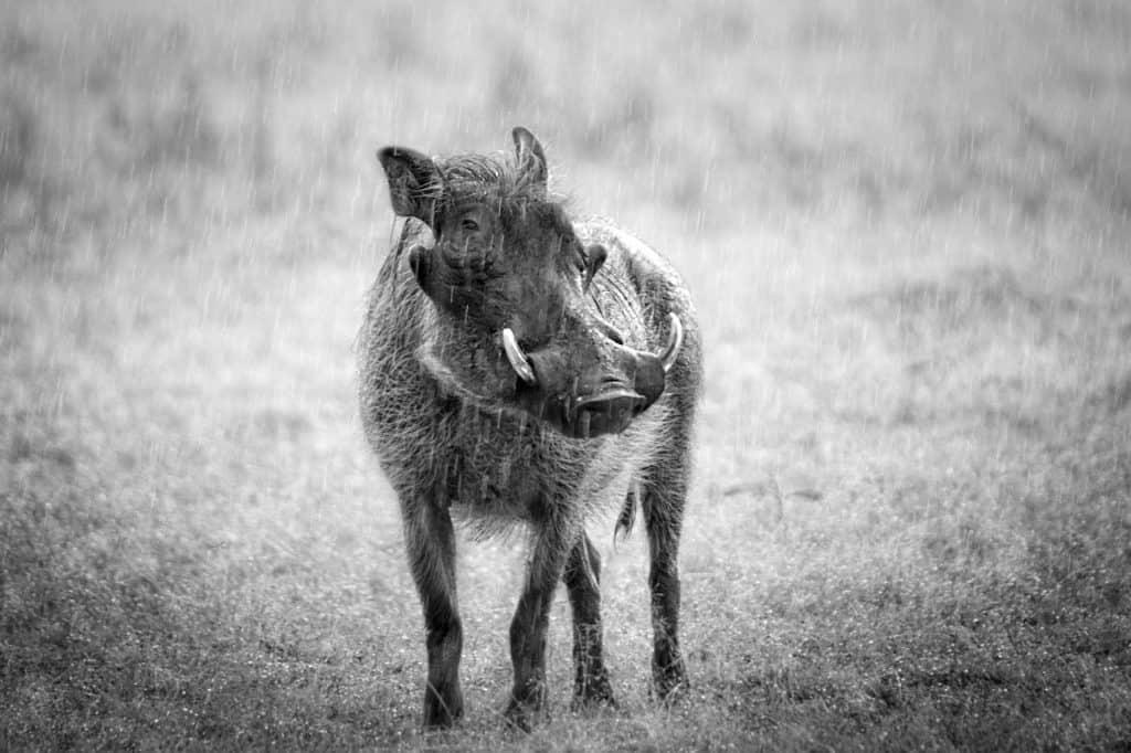 Ein Warzenschwein hat vier Warzen im Gesicht.