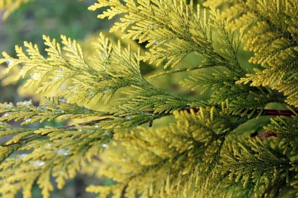Thuja Ast mit Blättern, Homöopathie gegen Warzen